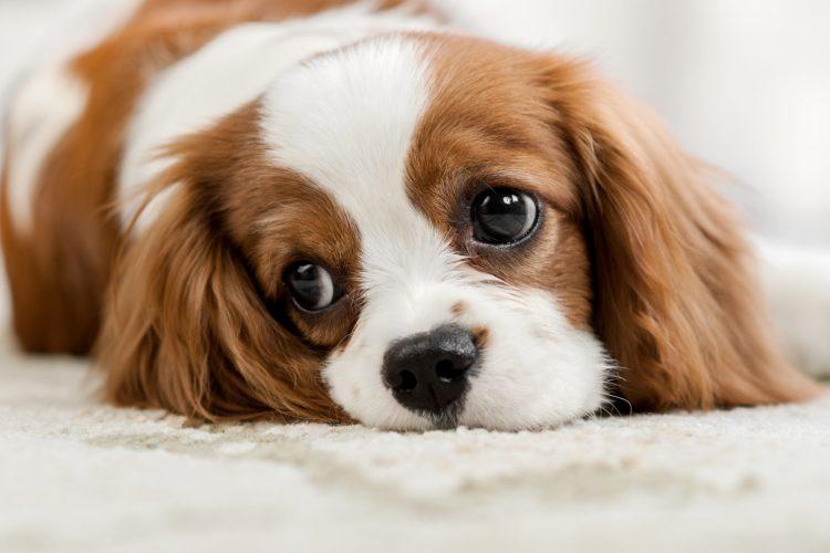 Puppy Finder, Puppy trainer, Puppy boot camp